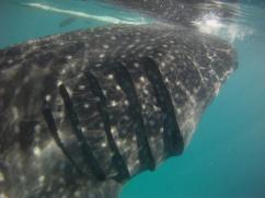 oslob cebu whale shark